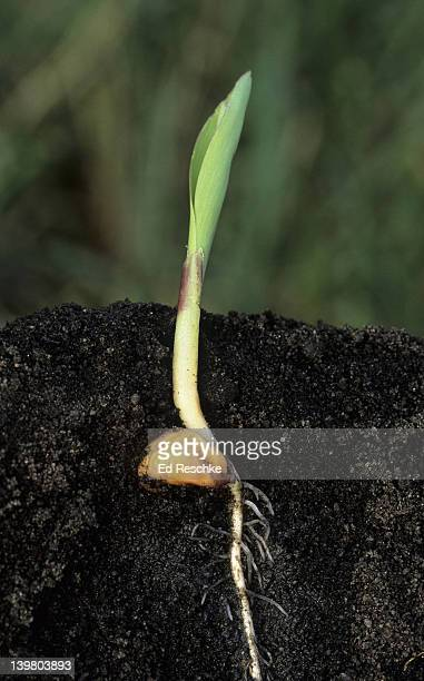 SEED GERMINATION & GROWTH WITH THE COLEOPTILE, CORN (Zea mays). Shows: Coleoptile (protective sheath surrounding the shoot), first foliage leaves, and roots.
