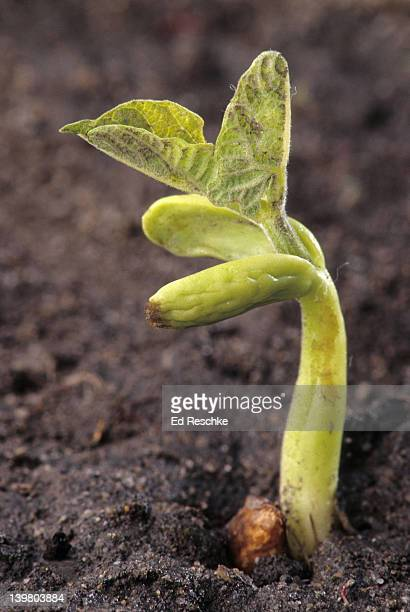 GERMINATING BEAN PLANT, DICOT. Shows: cotyledons, epicotyl, hypocotyl, foliage leaves and seed coat.