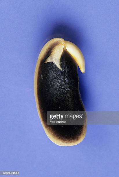 PLANT EMBRYO. BEAN SEED, DICOT. Shows: embryonic leaf, epicotyl, hypocotyl, radicle, and one cotyledon.  Stained with iodine, starch in cotyledon gives a blue-black reaction with the iodine.