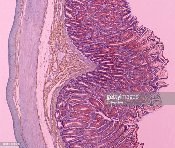 large intestine (or colon) shows the mucosa, submucosa, muscularis, serosa and many goblet cells.  10x - large intestine stock photos and pictures
