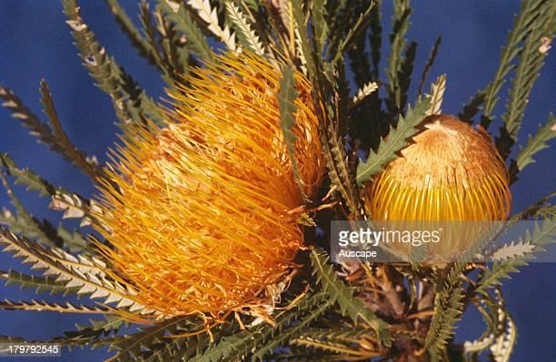 Showy dryandra, Banksia formosa, flower heads, Southwest Western Australia