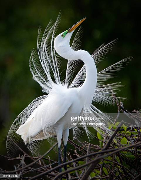 showy egret - delray beach stock pictures, royalty-free photos & images