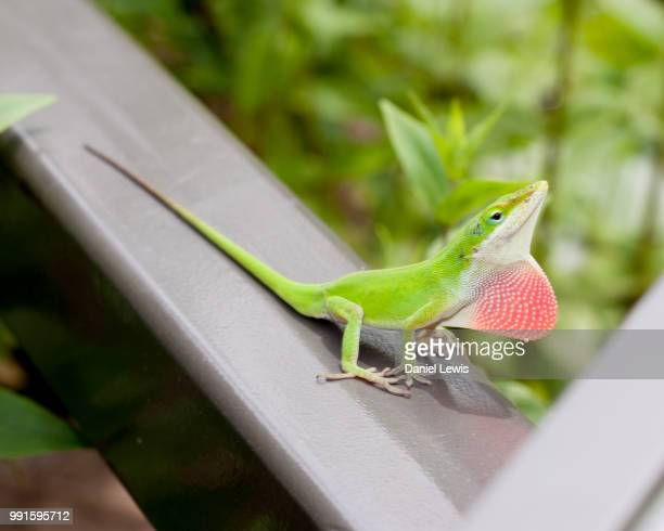 showy - anole lizard stock pictures, royalty-free photos & images