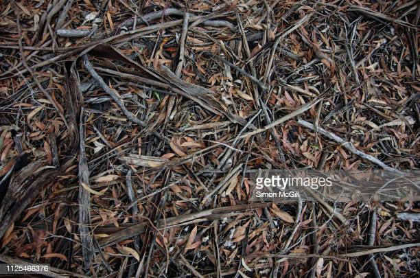 shred eucalyptus bark and leaves on the ground - 小枝 ストックフォトと画像