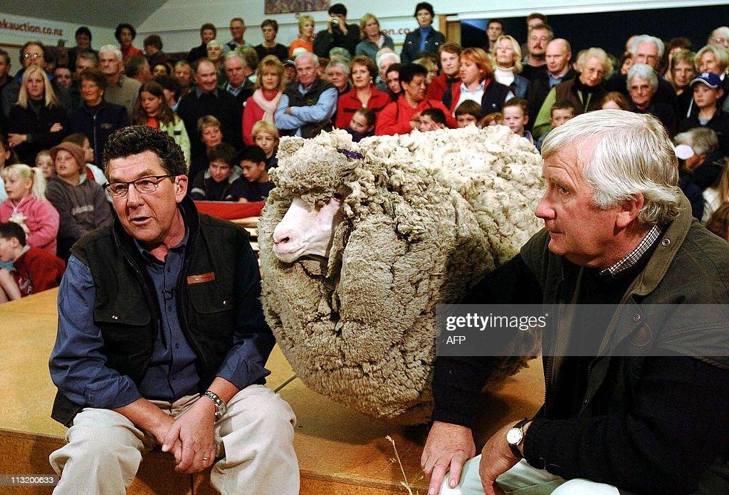 Shrek (C), the hermit merino sheep who h : News Photo