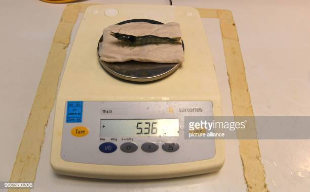 A shrimp can be seen on a scale at the Alfred Wegener Institut in Bremerhaven Germany 20 September 2017 At the AWI it is being tested whether it is...