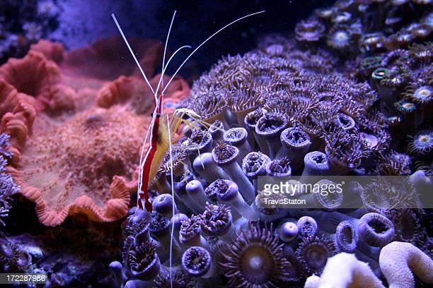 shrimp travels across coral - plankton stock pictures, royalty-free photos & images