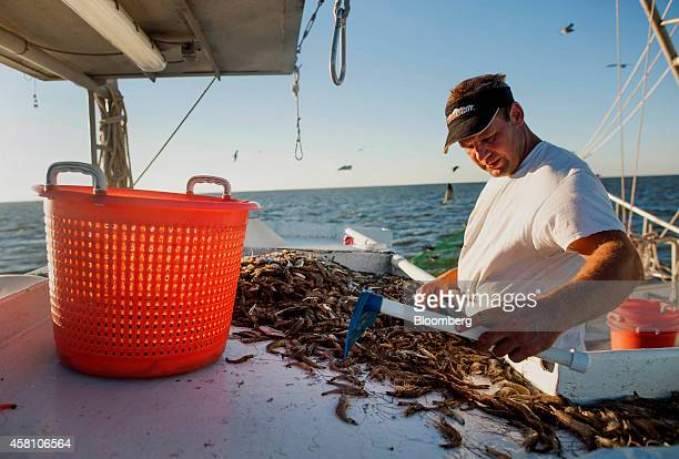 A shrimper sorts through the day's catch on a shrimping boat off the coast of Grand Isle Louisiana US on Wednesday Oct 22 2014 Louisiana shrimpers...