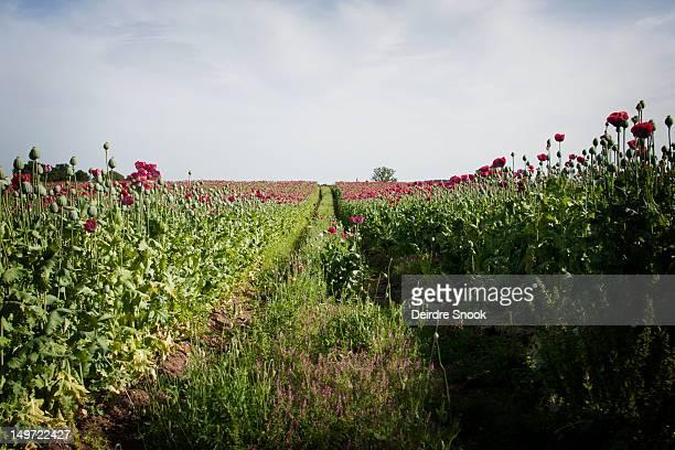 Shropshire poppy field on bright summer's day