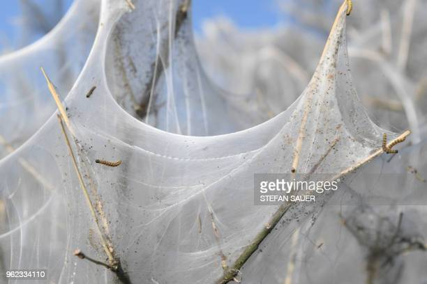 A shrub is wrapped into communal larval webs of ermine moths in Rambin near Samtens on the Baltic Sea island of Ruegen northwestern Germany on May 25...