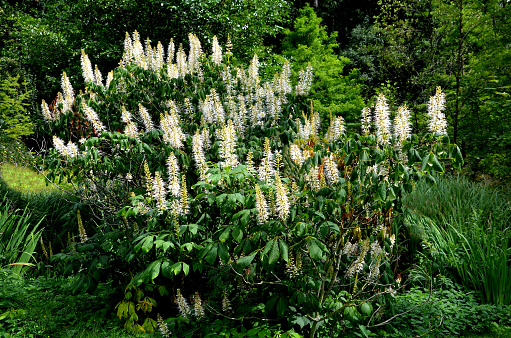Shrub with protruding rooting and branching, grows freely in width according to space. The flowers are white in erect slats An interesting horse chestnut suitable for group planting 1256254489