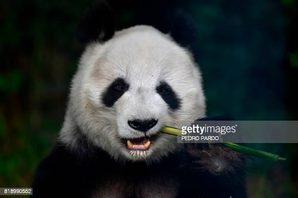 Shuan Suah one of the two giant pandas born in captivity in Mexico eats bamboo at the Chapultepec zoo in Mexico City on July 19 2017 / AFP PHOTO /...