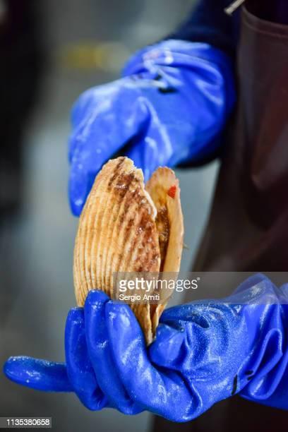 Shucking a Hokkaido scallop