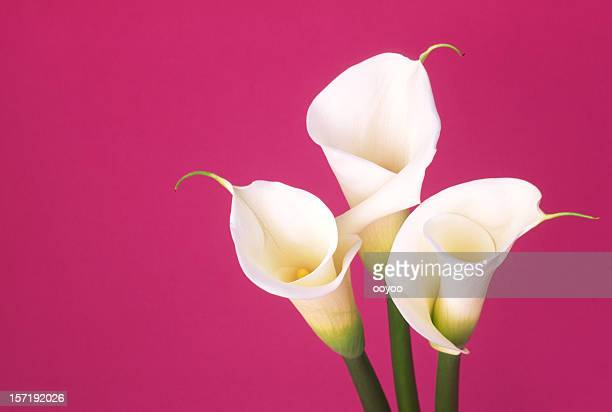 calla - calla lily stock pictures, royalty-free photos & images