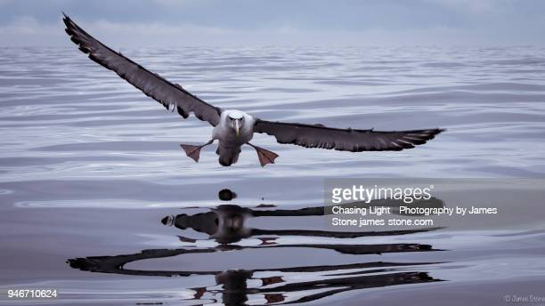 shy albatross coming into land on water - albatross stock pictures, royalty-free photos & images