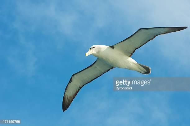 Shy Albatross flying ocean