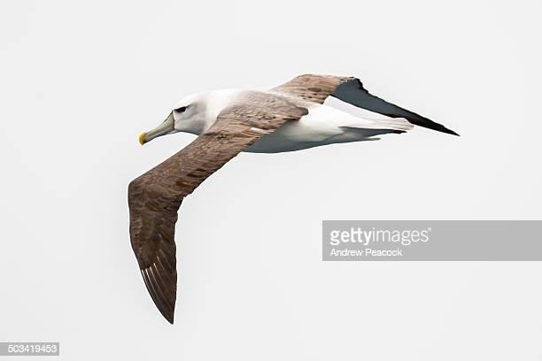 Shy albatross or shy mollymawk