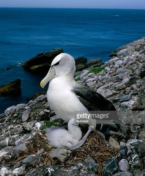 Shy albatross Thalassarche cauta with chick on nest Albatross Island Nature Reserve Bass Strait between Tasmania and Victoria Australia