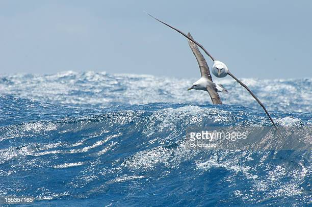 Shy  and black browed albatross over waves