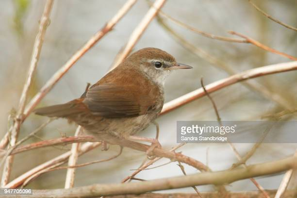 A shy and elusive Cetti's Warbler (Cettia cetti) perched on a branch in a tree.