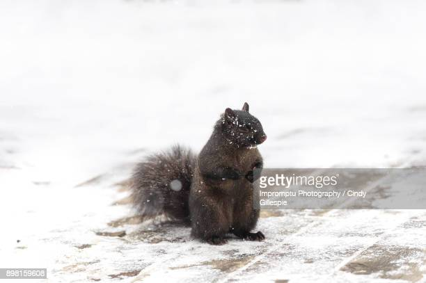 Shy black squirrel in the winter
