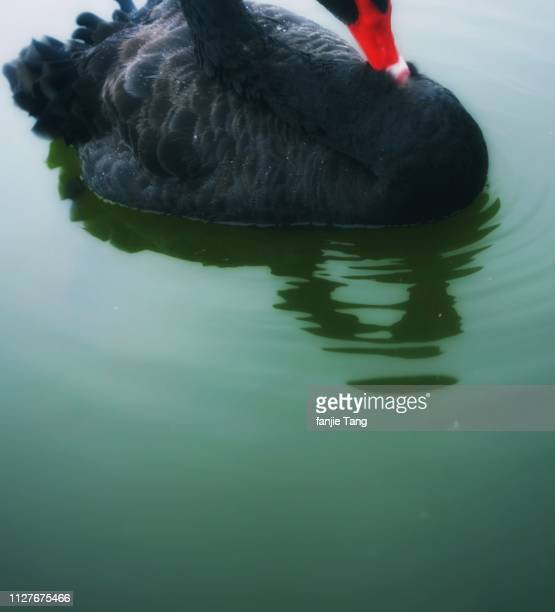 a shy black swan is on the lake - 湖 stock pictures, royalty-free photos & images