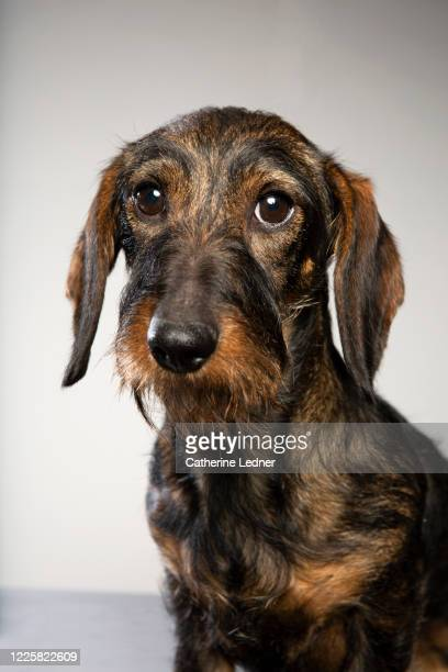 shy wire haired dachshund with big eyes on grey seamless - catherine ledner stock pictures, royalty-free photos & images