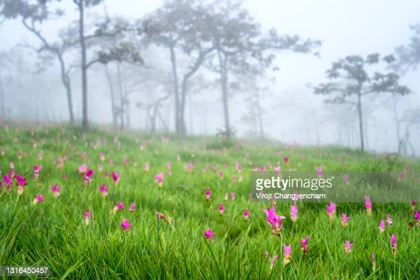 siam tulip (krachiew flowers) at sai thong national park, chaiyaphum province, thailand. - national landmark stock pictures, royalty-free photos & images