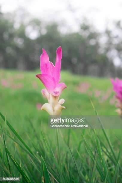 Siam Tulip flower, Chaiyaphum, Thailand