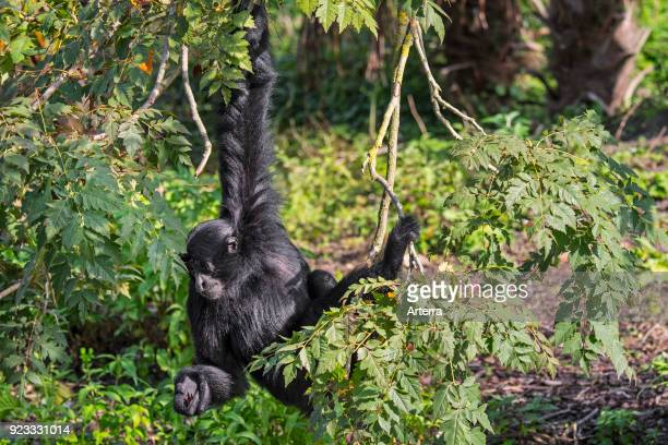 Siamang arboreal gibbon native to the forests of Malaysia Thailand and Sumatra