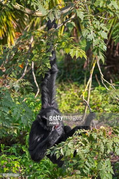 Siamang arboreal gibbon native to the forests of Malaysia Thailand and Sumatra