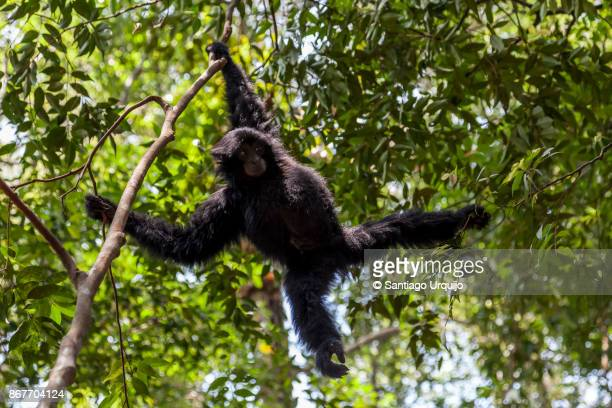 Siamang hanging from a branch