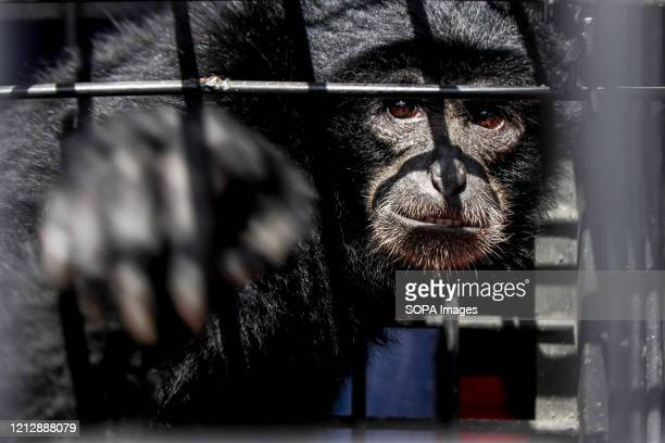 LHOKSEUMAWE ACEH INDONESIA Siamang or Black Apes are being kept in a cage after residents surrendered them to the officers of the Natural Resources...