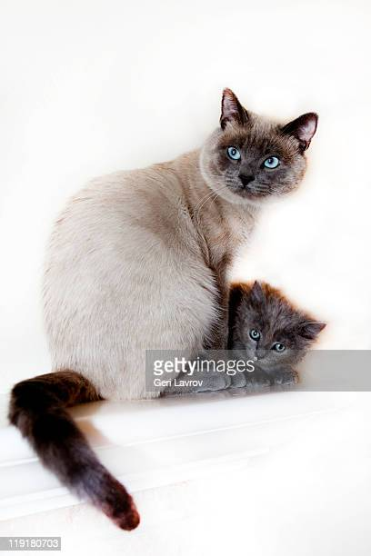siamese cat and kitten together - siamese cat stock pictures, royalty-free photos & images