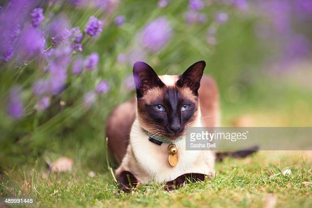 Siamese cat by lavender