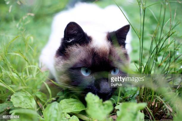 siamese cat hunting - siamese cat stock pictures, royalty-free photos & images