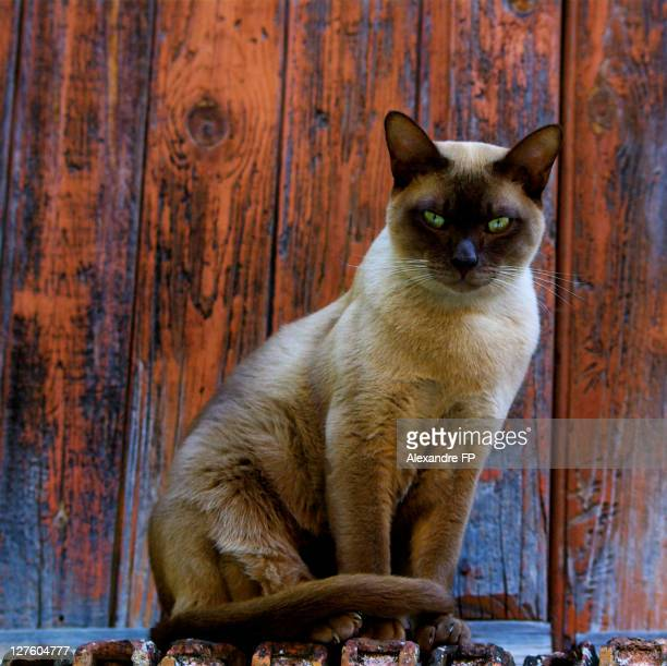 siamese cat in front of wooden textured  door - siamese cat stock pictures, royalty-free photos & images