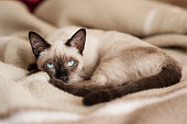 Siamese cat lying down at bed