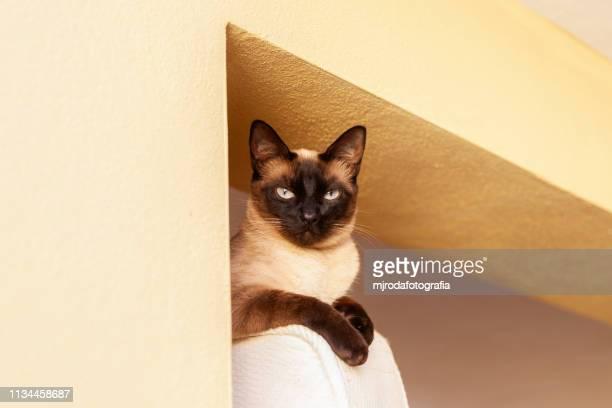 siamese cat lying down.  looking at camera. - mjrodafotografia fotografías e imágenes de stock