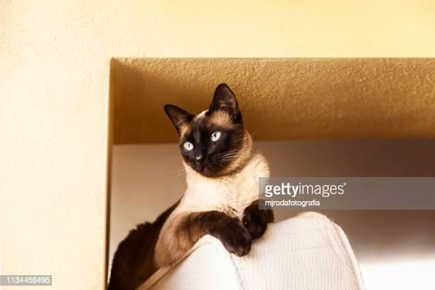siamese cat  lying down - mjrodafotografia fotografías e imágenes de stock