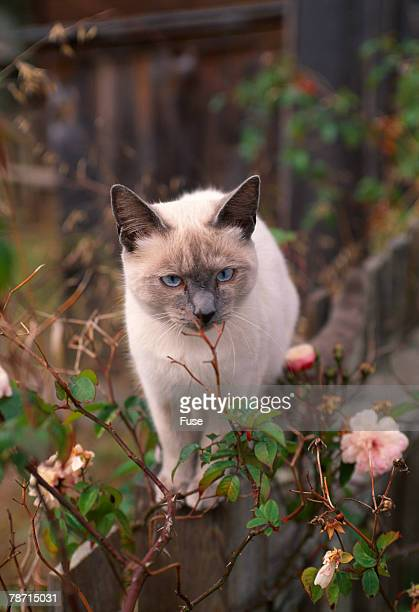 siamese cat on fence smelling flowers - siamese cat stock pictures, royalty-free photos & images