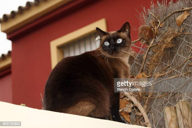 siamese cat on the roof of a house - siamese cat stock pictures, royalty-free photos & images