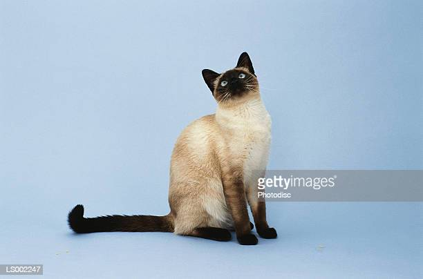 siamese cat - siamese cat stock pictures, royalty-free photos & images