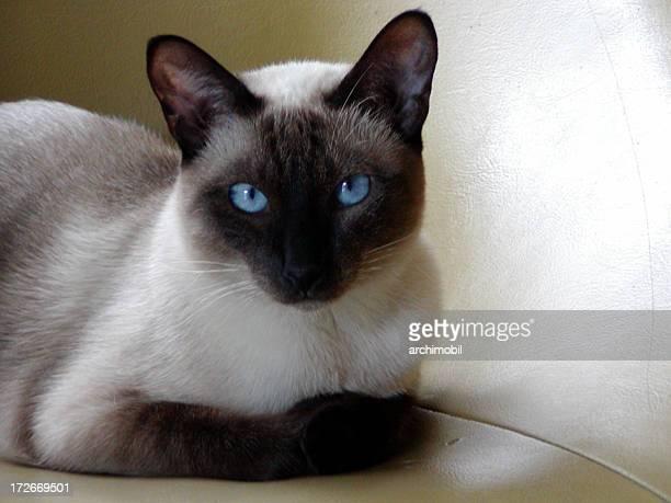 siamese cat quiet - siamese cat stock pictures, royalty-free photos & images