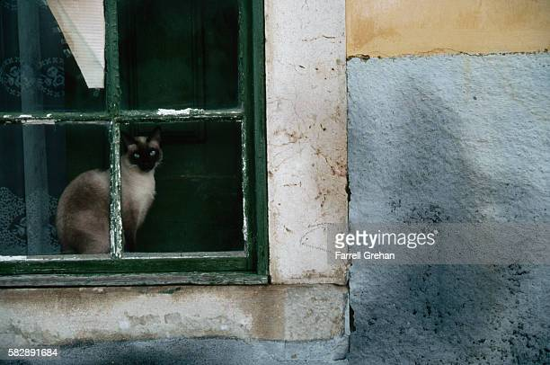 siamese cat sitting in a window - siamese cat stock pictures, royalty-free photos & images