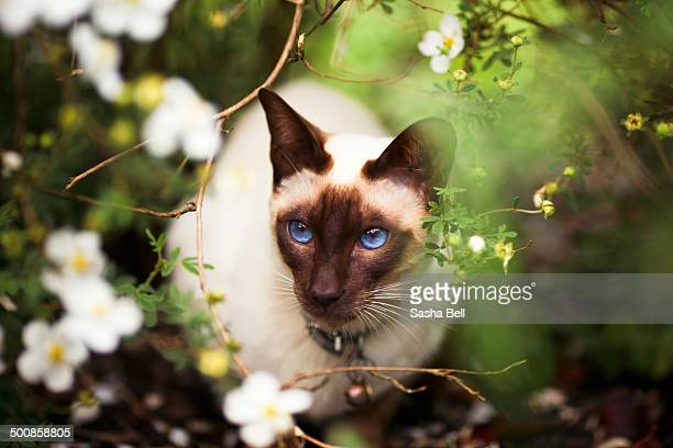 Siamese Cat with Blue Eyes in English Garden