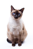 A Siamese cat with blue eyes set against a white background