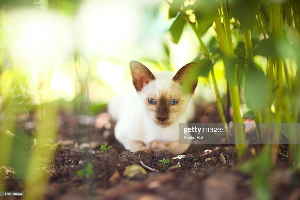 Siamese chocolate point kitten : Foto stock