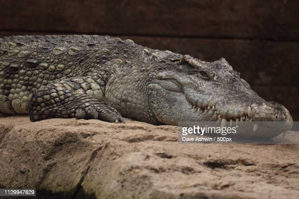 siamese crocodile - dave ashwin stock pictures, royalty-free photos & images