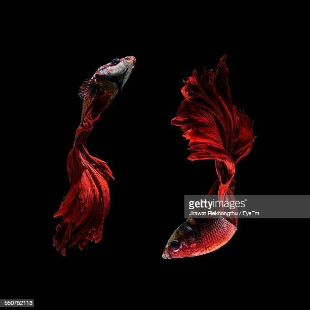 Siamese Fighting Fish Against Black Background